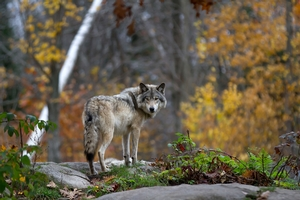Wolf Hunts in Canada